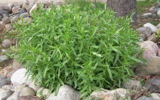 Эстрагон трава – применение