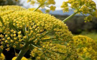В каких блюдах используется пряная трава любисток