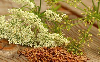 Применение и полезные свойства тмина специи