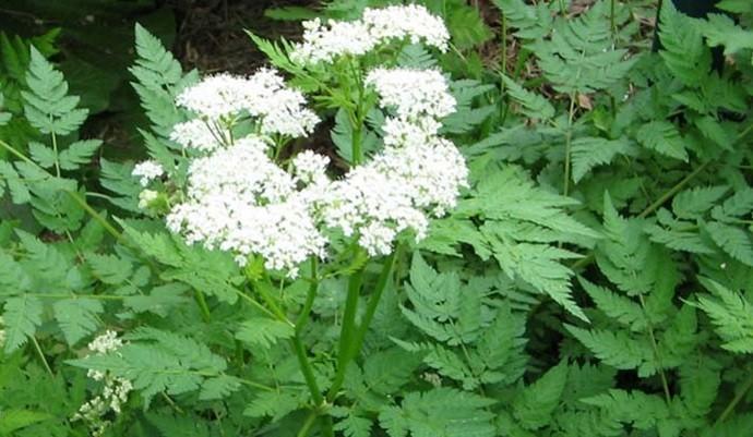 Айован растение