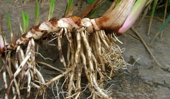 Целебный корень аира