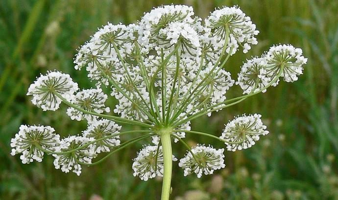 Кумин растение