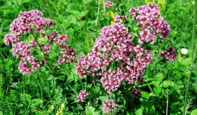 Нежное ароматное растение