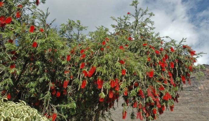 Дерево сумах